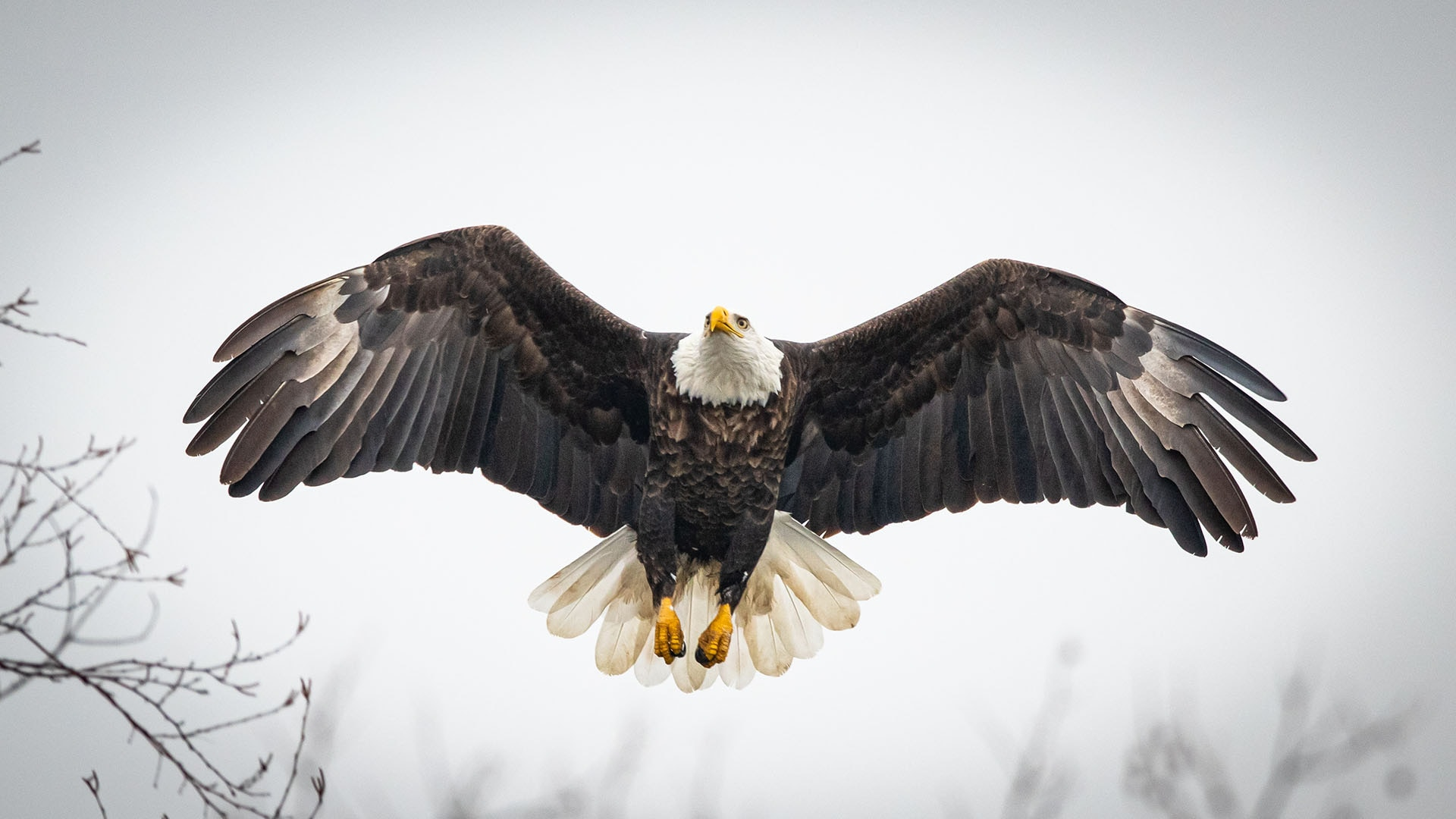 A bald eagle soars high in the air along the Kaskaskia River in Carlyle, Illinois.