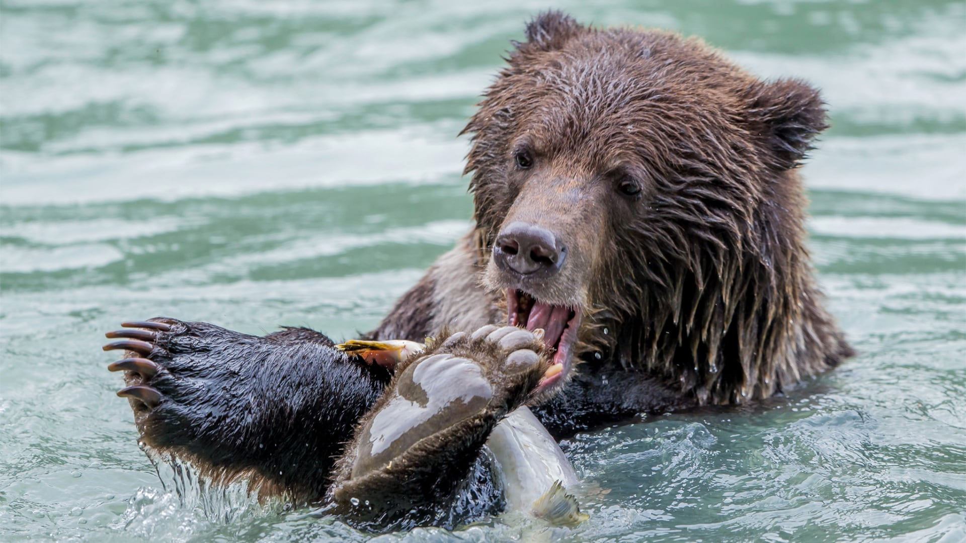 A grizzly bear snags a fish in Alaska.