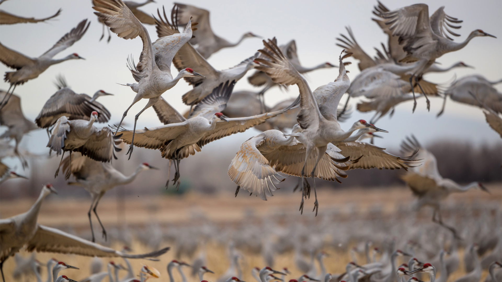 Sandhill cranes take flight from the central Platte River near Kearney. Photo by Dave Hunter