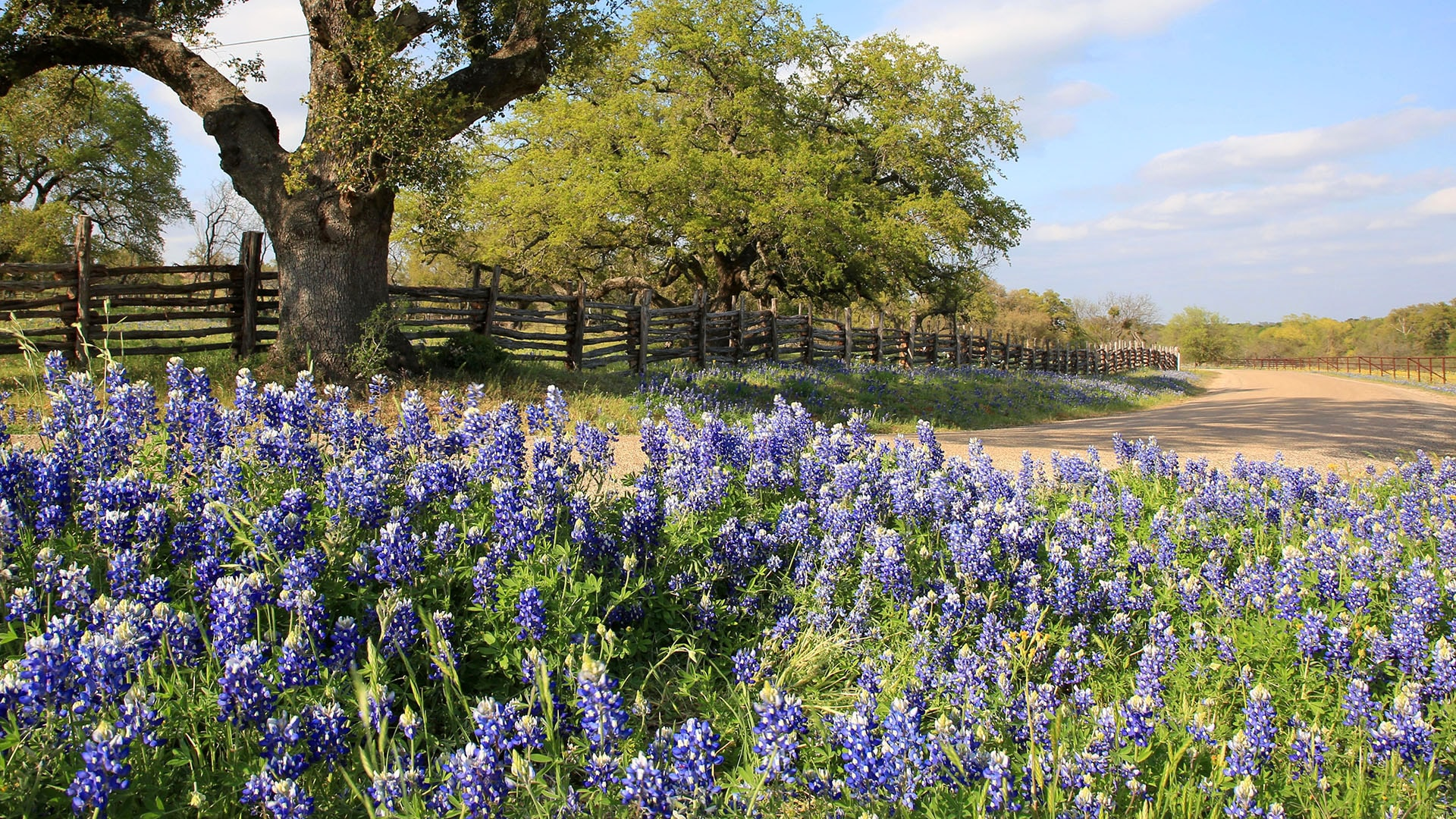 The Willow City Loop explodes with bluebonnets in spring.
