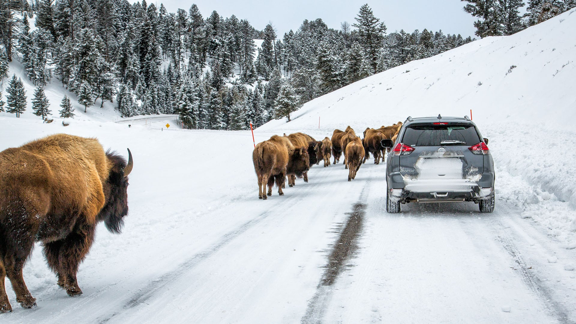 Bison walk along a road in Yellowstone National Park. Photo by Derek Jerrell