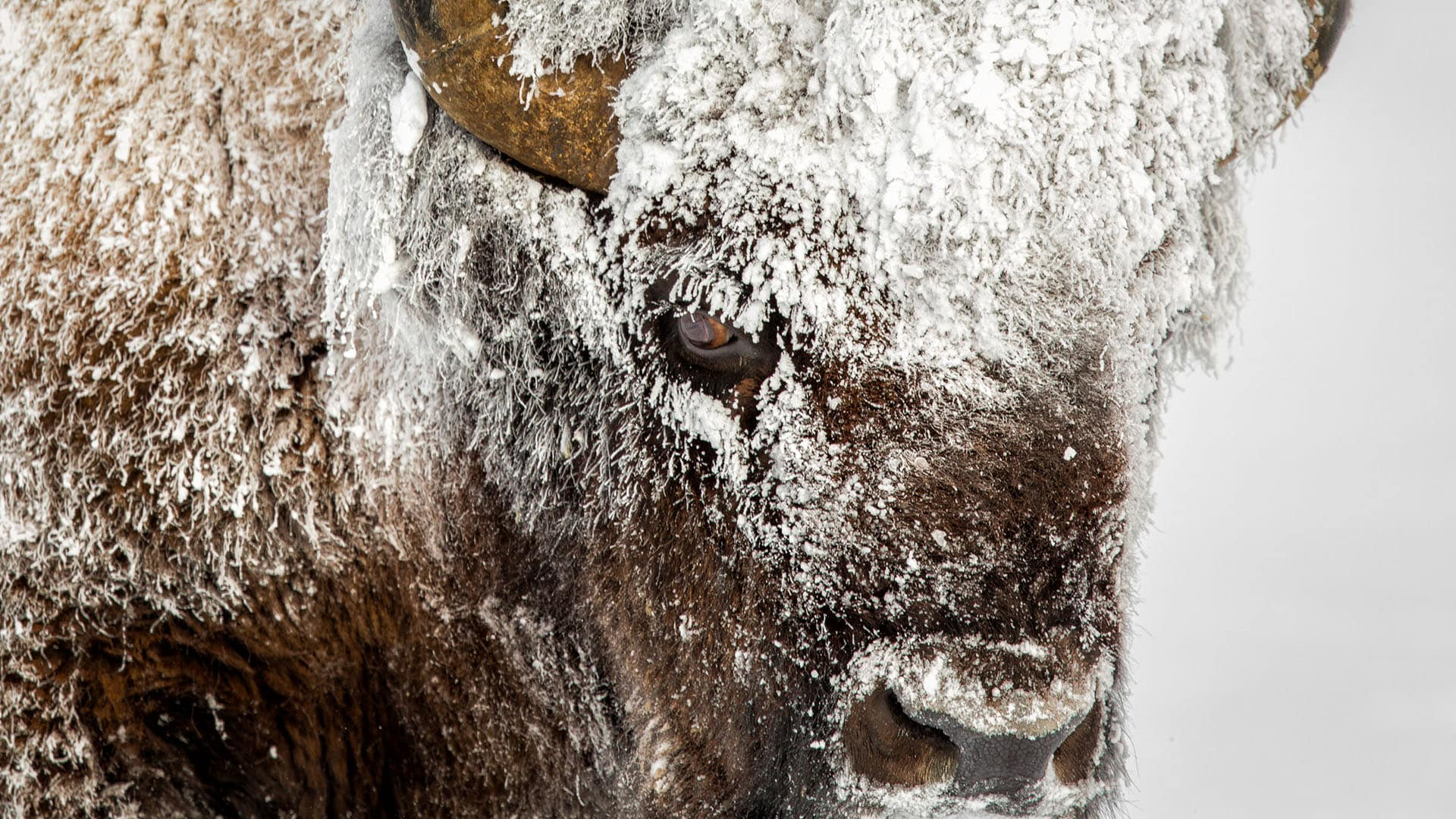 Geyser steam turns to frost on Bison in Yellowstone National Park.